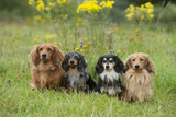 Miniature Long Haired Dachshunds Sitting in a Row Photographic Print