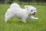 Maltese Puppy Running in Garden Photographic Print