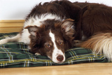 Border Collie Lying on its Bed Photographic Print