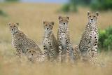Cheetahs X Five Sitting in Line Fotografisk tryk