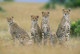 Cheetahs X Five Sitting in Line Photographic Print