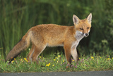 European Fox, Young Animal on Road at Dusk Photographic Print