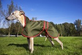 Whippet with Dog Coat Photographic Print