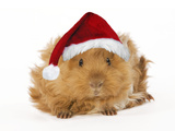 Guinea Pig in Studio Wearing Christmas Hat Photographic Print