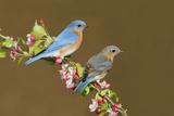 Eastern Bluebird Pair Fotografisk tryk
