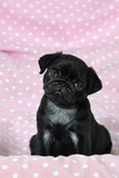 Black Pug Puppy (8 Wks Old) Photographic Print