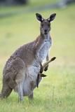 Western Grey Kangaroo Mother and Joey Photographic Print