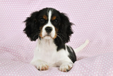 Cavalier King Charles Spaniel Puppy Lying Photographic Print