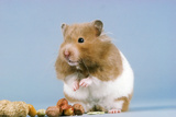 Hamster and Nuts Photographic Print