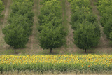 Plum Trees with Sunflowers in Foreground Photographic Print