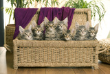 Maine Coon Group of Seven Kittens in Basket Photographic Print