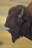 American Bison, Buffalo Male Vocalizing (Bellowing) Photographic Print