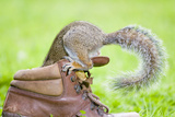Grey Squirrel Investigating Interior of Old Boot Photographic Print