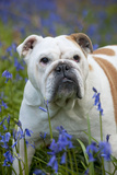 Bulldog Standing in Bluebells Photographic Print