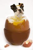 Boston Terrier in Boiled Egg Photographic Print