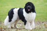 Newfoundland Dog Photographic Print
