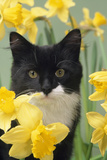 Kitten in Daffodils Photographic Print