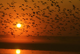 Plumed Whistle Ducks in Flight at Sunset Photographic Print