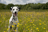 Dalmatian Sitting in Buttercup Field Photographic Print