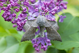 Poplar Hawkmoth Resting on Lilac Blossom in Garden Photographic Print