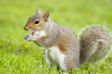 Grey Squirrel Eating on Lawn Photographic Print