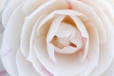 Camellia Flower Photographic Print
