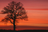 Oak Tree with Buzzard, Field in Winter Dawn Light Reproduction photographique