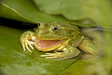 Chiricahua Leopard Frog Swallowing its Shed Skin Photographic Print