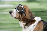 Basset Hound Wearing Goggles Photographic Print