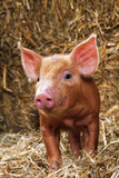 Tamworth Piglet in Straw Photographic Print