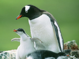 Gentoo Penguin Parent with Chicks Photographic Print
