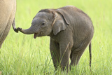 Asian Elephant Calf Playing with Mother's Tail Photographic Print