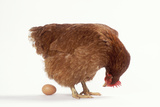 Chicken Looking at an Egg Reproduction photographique