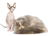 Cats, Persian and Sphynx in Studio Photographic Print