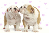 English Bulldog, Two Puppies 'Kissing' Photographic Print