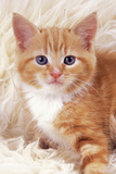 Ginger Kitten, Close-Up on Rug Photographic Print