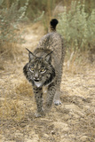 Pardel Lynx, Iberian Lynx Photographic Print