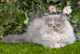 Persian Kitten in Garden Amongst Flowers Photographic Print