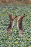 Brown Hares Two Boxing Photographic Print