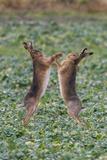 Brown Hares Two Boxing Lámina fotográfica