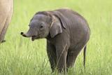 Asian Elephant Calf Photographic Print