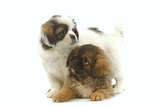 Tibetan Spaniel Two Puppies in Studio Photographic Print