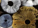 Mushroom Spores Close-Up Reprodukcja zdjęcia