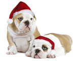 English Bulldogs in Studio Wearing Christmas Hats Photographic Print