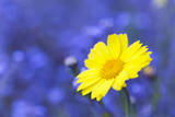 Corn Marigold in Bloom with Cornflowers in Background Photographic Print