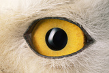Snowy Owl Close-Up of Eye Fotoprint van Andrey Zvoznikov