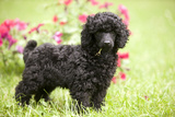 Black Poodle Outside in Garden with Grass in Mouth Photographic Print