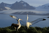 Wandering Albatross Courtship Display Reproduction photographique