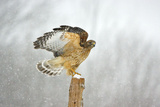 Red-Shouldered Hawk in Snowstorm Photographic Print