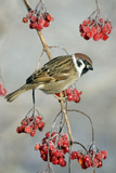 Tree Sparrow Perched on Guelder Rose Bush Reproduction photographique